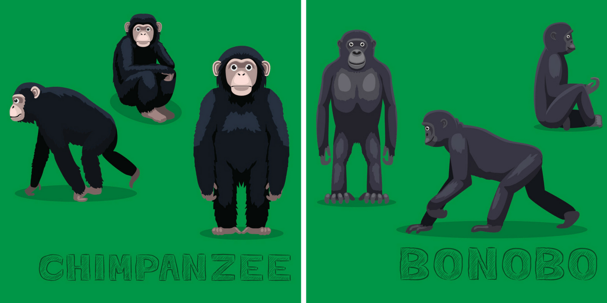 Chimps and Bonobos